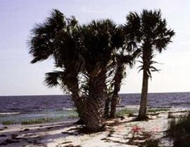 Sabal palmetto is popular in cultivation for its tolerance of salt spray and cold. It is the state tree of South Carolina and Florida. Most references rate the species as hardy to USDA hardiness zone 8a without protection; although with protection it can be grown in zone 7.